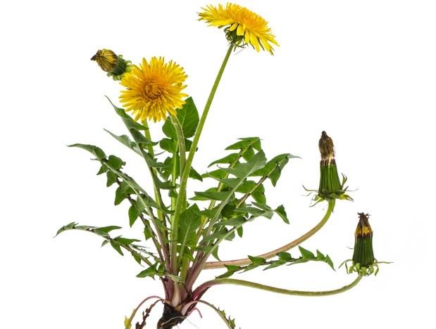 Rimedi Erboristici Per Depurazione Del Fegato In Primavera Cure