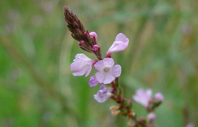 verbena officinalis usi