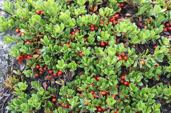 piante disinfettanti e battericide uva ursina