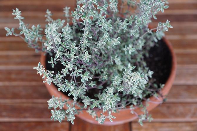 piante disinfettanti e battericide timo