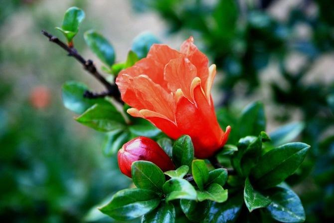 melograno coltivazione fiori