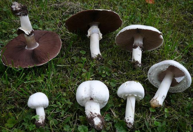funghi autunno prataioli
