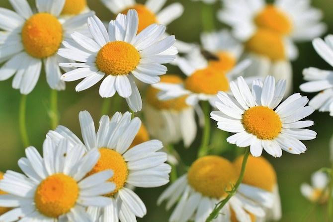 coltivazione camomilla fiore