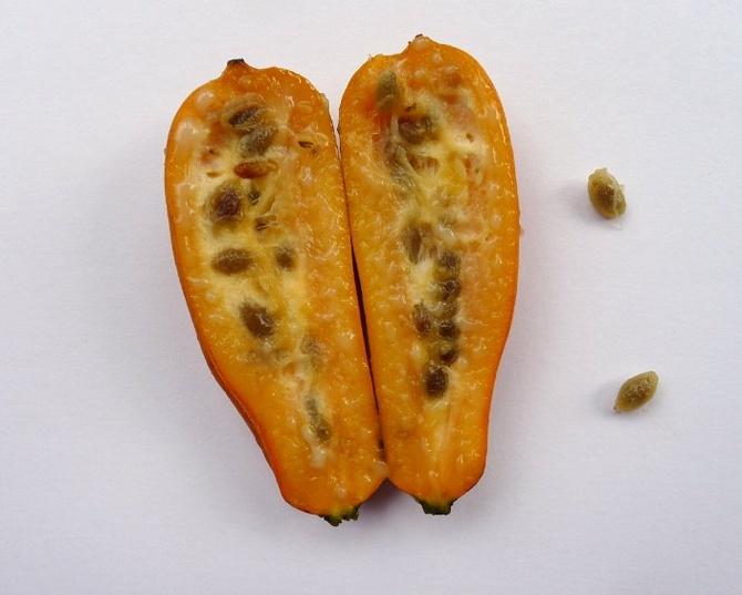 jacaratia-spinosa