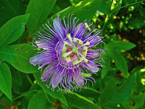 Passiflora contro l'angoscia