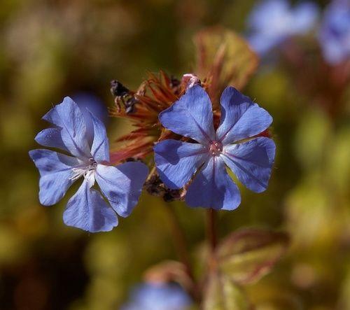 Cerato, fiore di Bach n. 5
