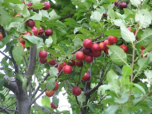 Cherry plum, fiore di Bach n. 6