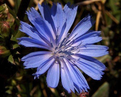 Chicory, fiore di Bach n. 8