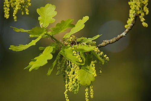 Oak, la quercia