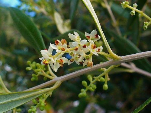 Olive, ulivo