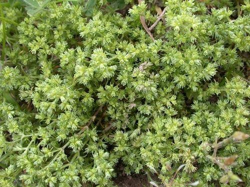 Scleranthus, fiore secco
