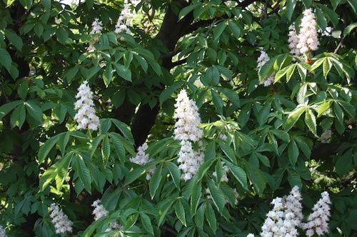 White Chestnut, fiore di Bach