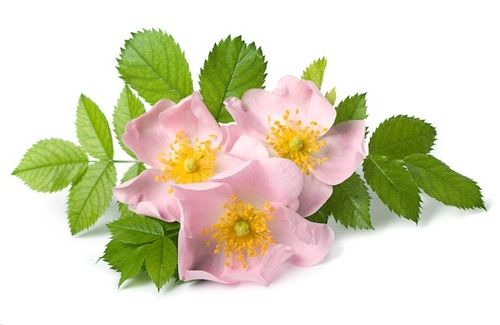 Wild Rose, fiore di Bach