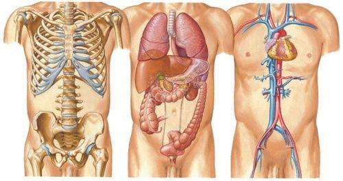 Corpo umano, tutti gli organi