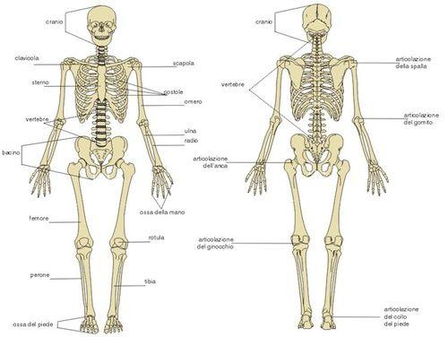 Ossa e scheletro umano