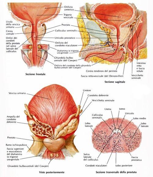 Prostata, anatomia