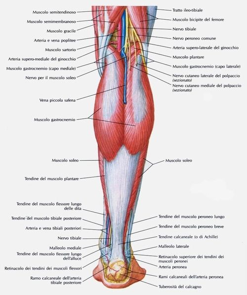 Gambe, anatomia