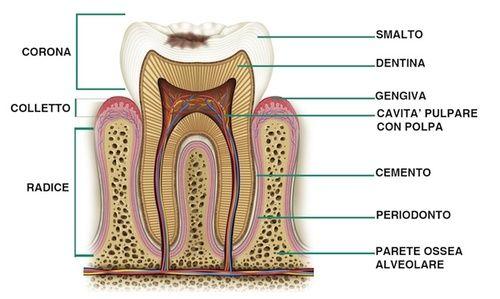 Denti, struttura