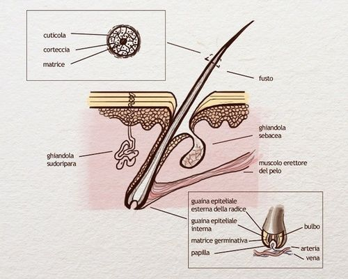 Capelli, struttura e anatomia