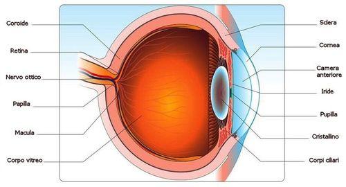 Occhi, anatomia e struttura