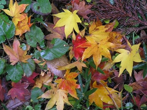 Autumn Leaves, rimed floral australiano