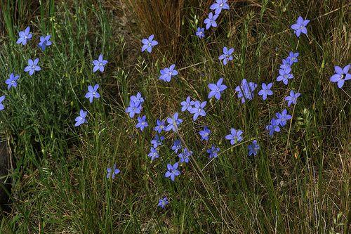 Bluebell, rimedio floreale australiano