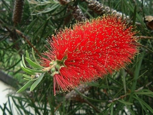 Bottlebrush, rimedio floreale australiano