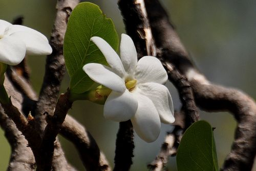 Bushgardenia, rimedio floreale australiano