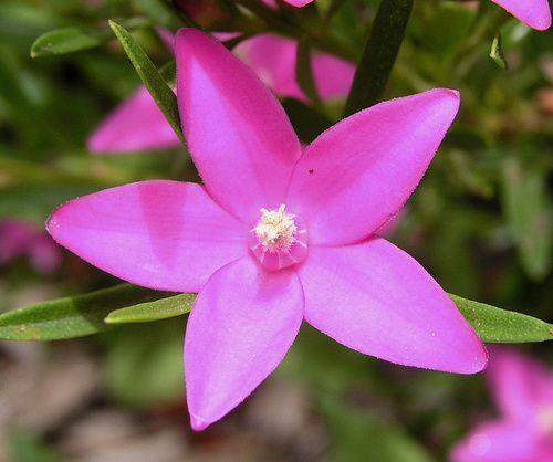 Crowea, rimedio floreale australiano