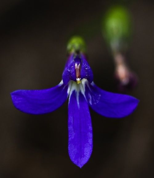 Angelsword, rimedio floreale australiano