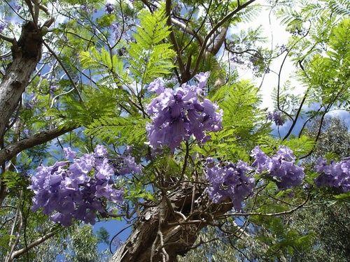 Jacaranda, rimedio floreale australiano
