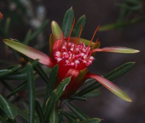 Mountain Devil, rimed floreale australiano