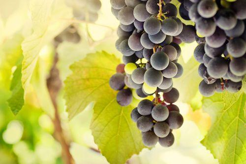 Uva, proprietà e benefici