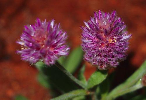 Pink Mulla Mulla, rimedio floreale australiano