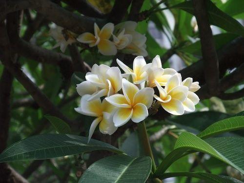 Red Suva Frangipani, rimedio floreale australiano