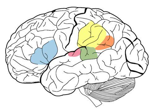 Anatomia cervello