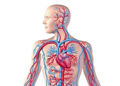Sistema cardio vascolare