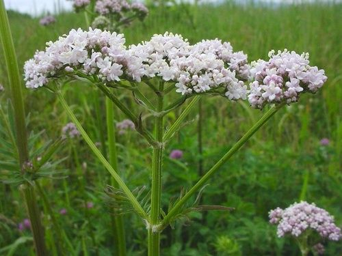 Valeriana, proprietà e benefici