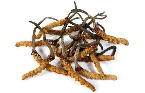 Cordyceps sinensis, proprietà e utilizzo