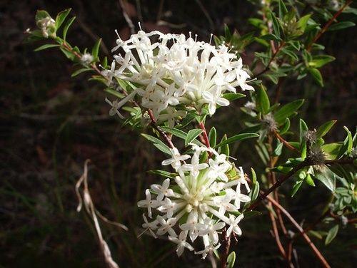 Slender Rice Flower, rimedio floreale australiano