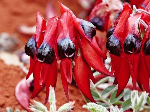 Sturt Desert Pea, rimedio floreale australiano