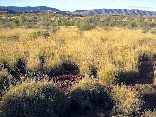 Spinifex, rimedio floreale australiano