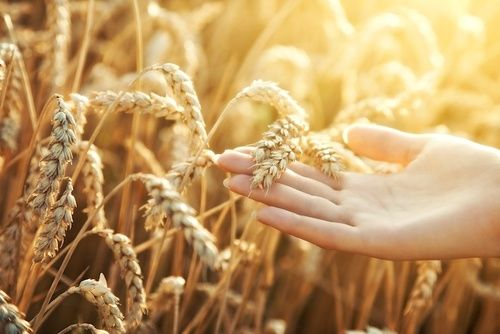 Grano per ricavare muscolo di grano