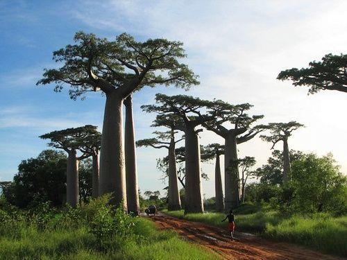 Baobab, proprietà e uso