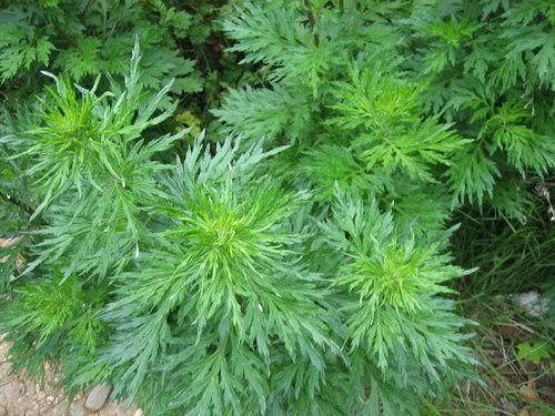 Artemisia: proprietà, uso e controindicazioni
