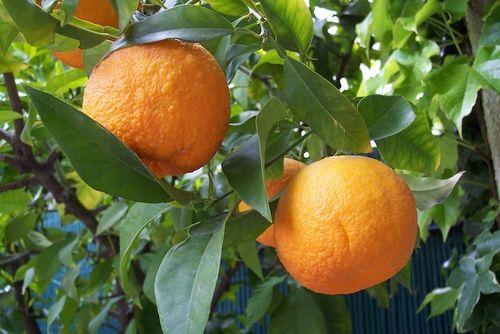 Arancio amaro dal quale si estrae la sinefrina