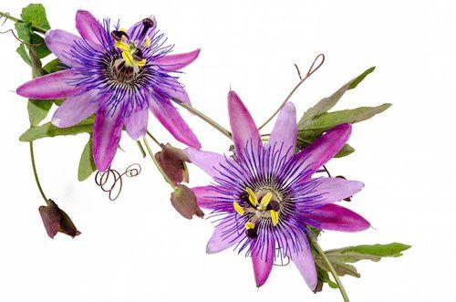 Passiflora per gli attacchi di panico