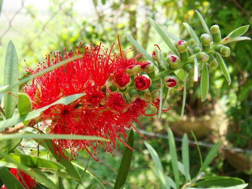 Bottlebrush, fiore australiano