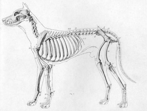 Visione laterale ossatura del cane