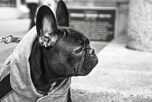 quali sono i sintomi dellinfezione da lievito nelle orecchie dei cani
